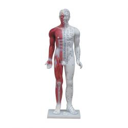 Modelo masculino de medicina acupuntura masculina (com anatomia muscular) 84cm