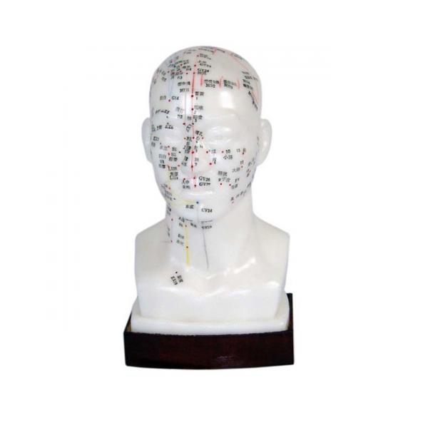 Modelo de acupuntura da cabeça